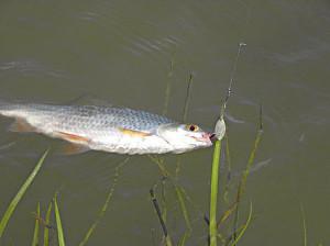 Какую рыбу можно поймать на сало. Секреты успешной ловли леща на ...